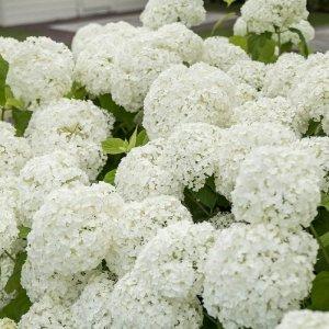 Hortensia Hydrangea 'Arborescens Incrediball'