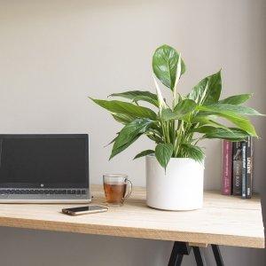 Lepelplant 'Spathiphyllum' - Groen