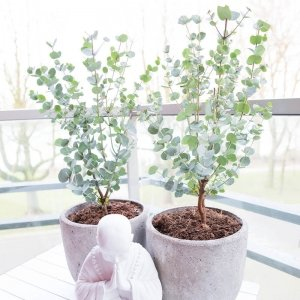 Set van 2 - Gomboom Eucalyptus Gunni 'Azura'