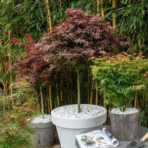 Set van 3 - Japanse Esdoorns 'Acer palmatum'