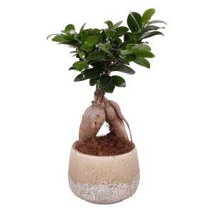 Bonsai 'Gingseng'