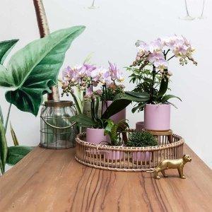 Planten Gift Set - Gold Foot Pink